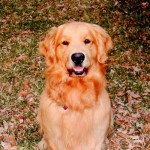 Jake, our 3 year old golden retriever, hails from Indiana.